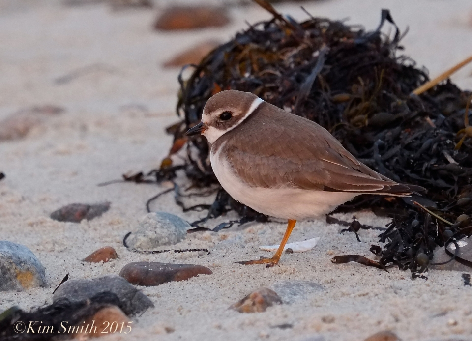 Semipalmated Plover Dennis MA ©Kim Smith 2015,