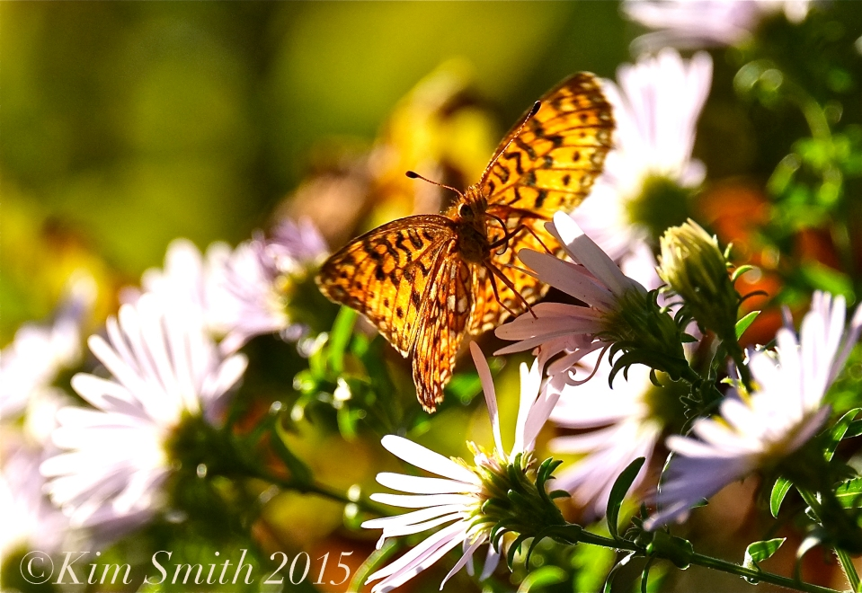 Silver-bordered Fritillary Butterfly dreams ©Kim Smith 2015