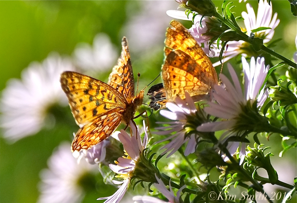 Silver-bordered Fritillary Pearl Crescent ©Kim Smith 2015