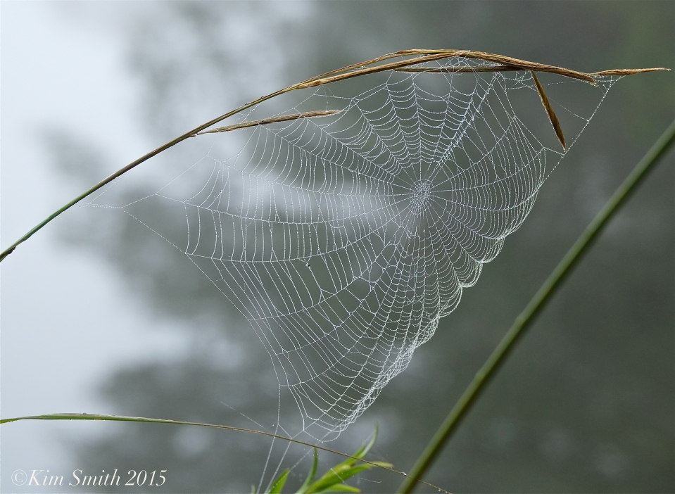 Spider web -2Clark Pond ©Kim Smith 2015