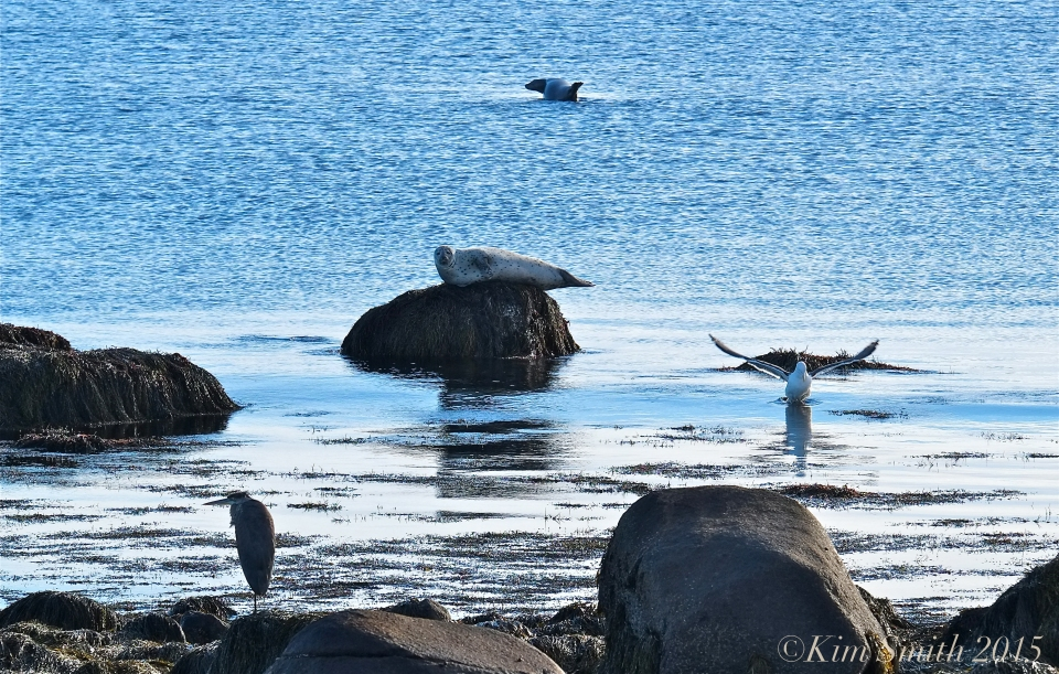 Great Blue heron Gull Seals Brace cove ©Kim Smith 2015