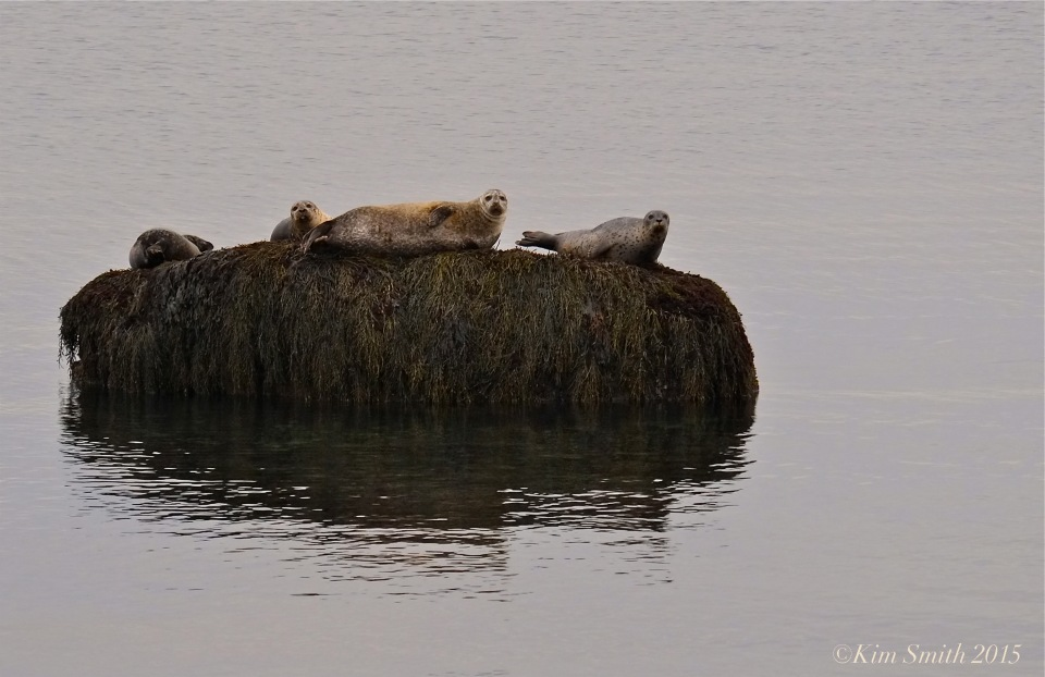 Harbor Seals spotted coat Atlantic ©kim Smith 2015