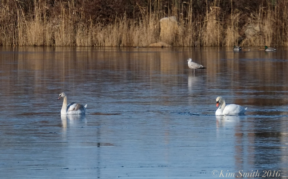 Swans Niles Pond Eastern Point Gloucester  ©Kim Smith 2016