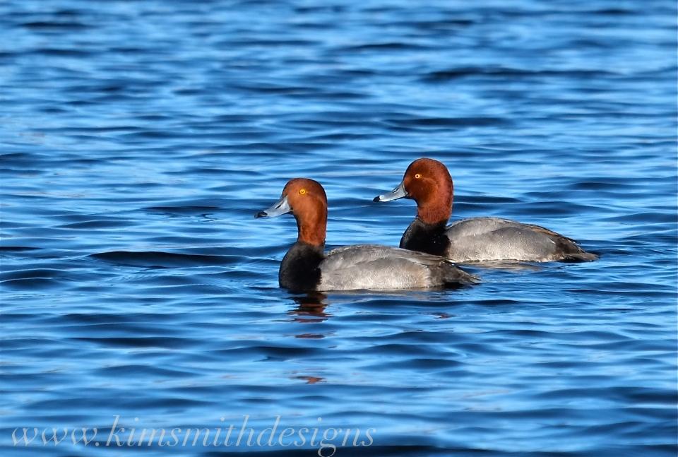 Redhead Duck www. kim smith designs