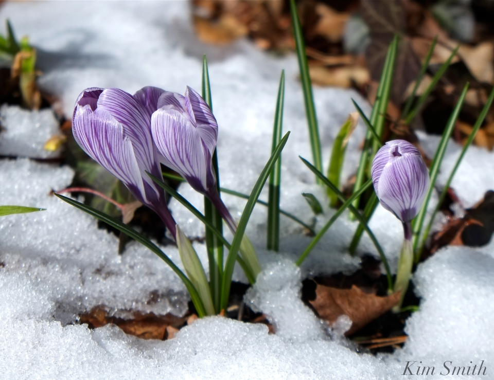 Crocus in snow Kim Smith Designs
