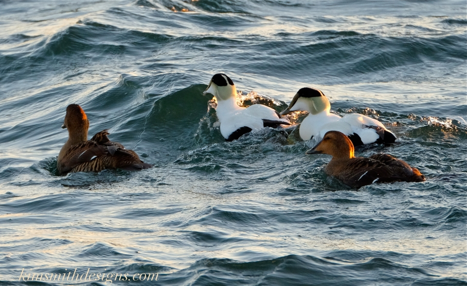 Male female Common Eider Ten Pound Island Gloucester kimsmithdesigns.com