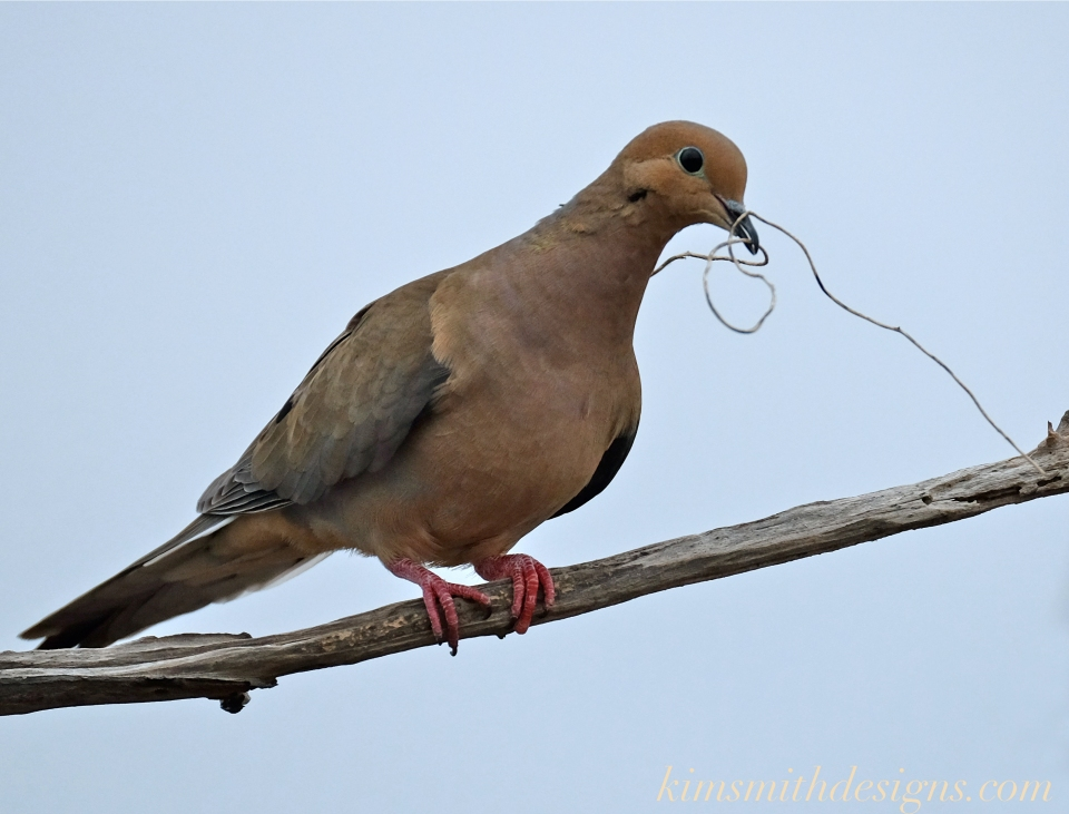 Mourning Dove Building nest -2 Cape Ann kim smith designs.com