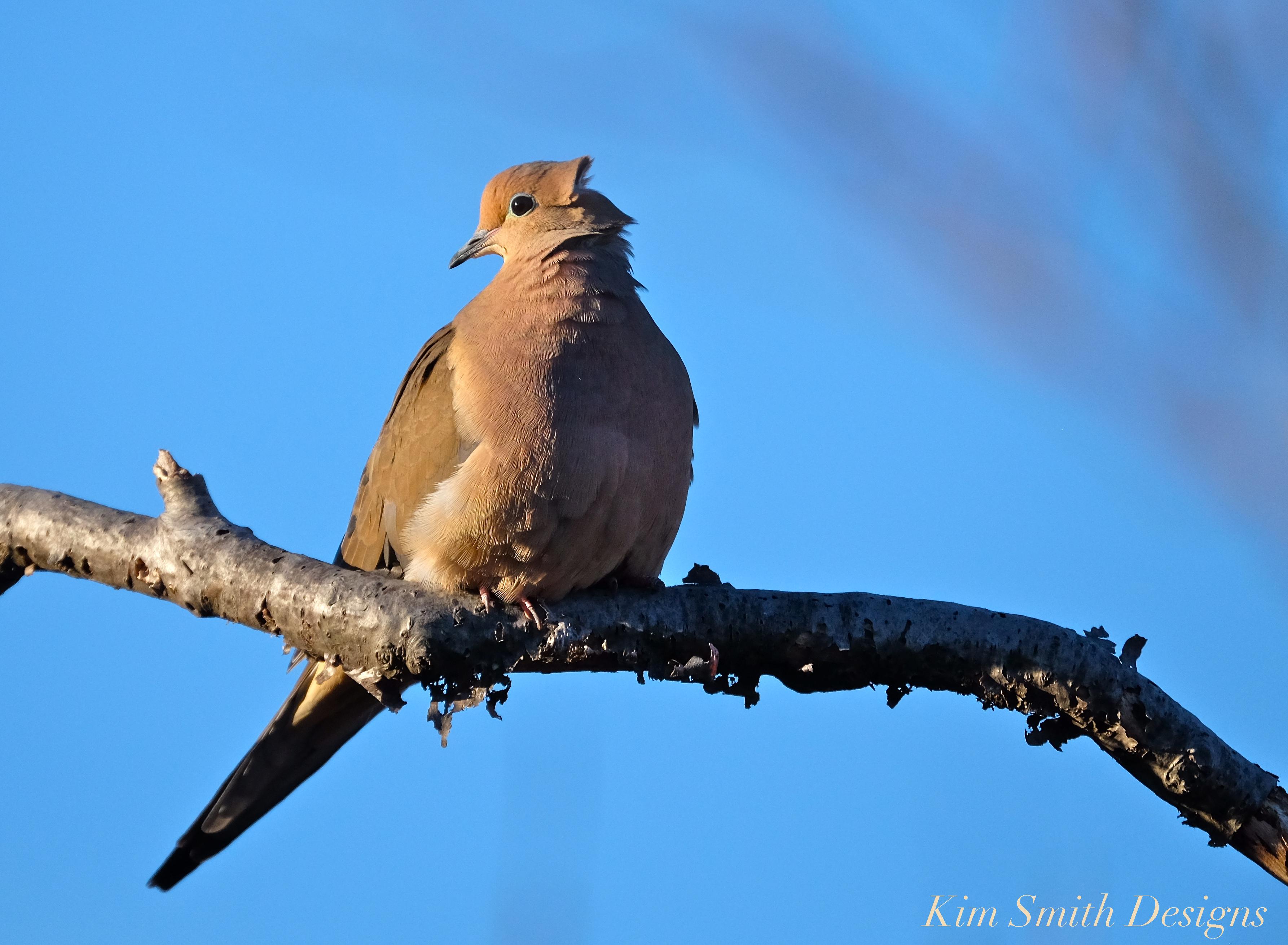 Bogue: Las palomas de luto construyen nidos tan terribles, ¿cómo sobreviven? - East Bay Times