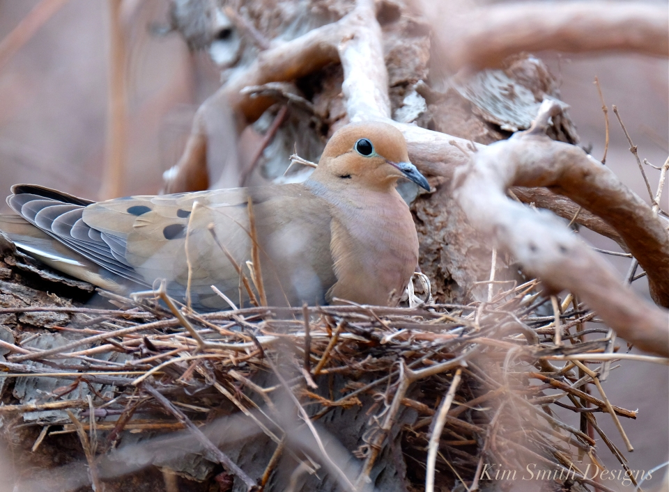 Mourning Dove Female Building nest Cape Ann Kim Smith Designs.com