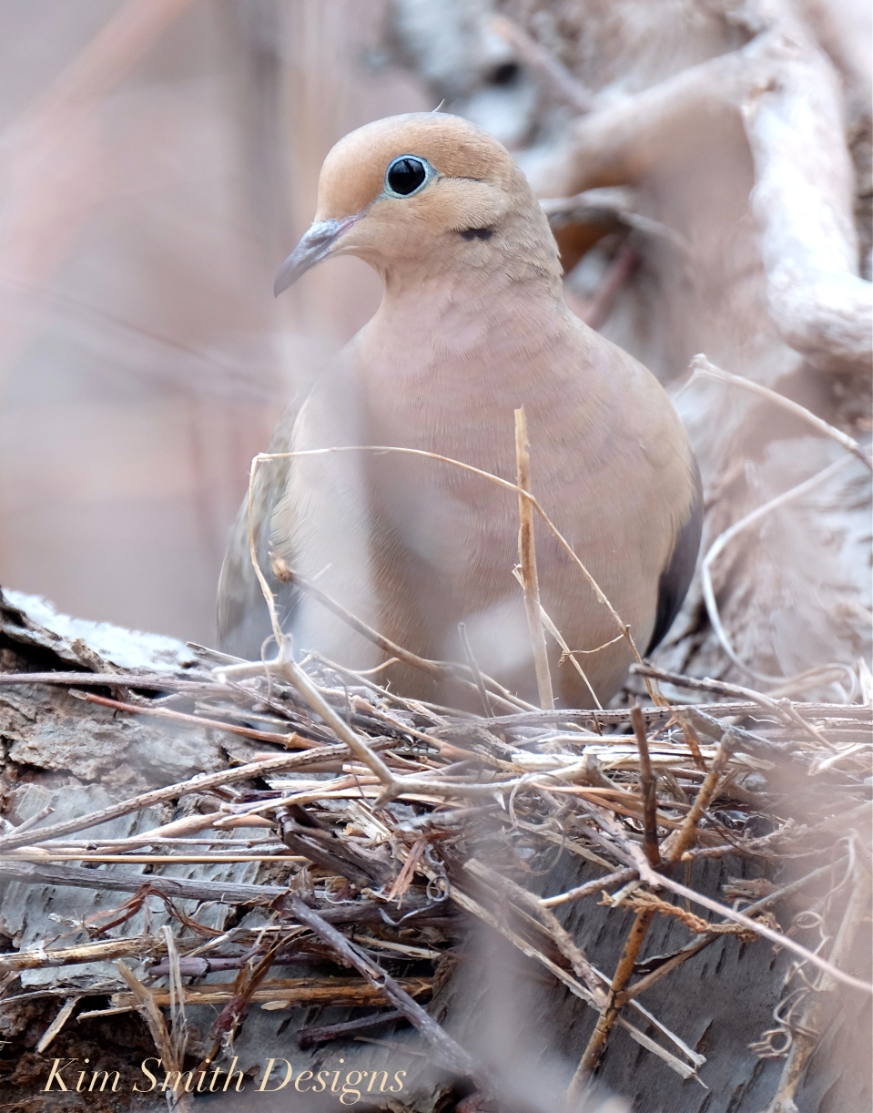 Mourning Dove Female Cape Ann Kim Smith Designs.com