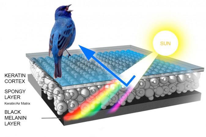 Bird_Biology-Feather_structural_blue-674x450