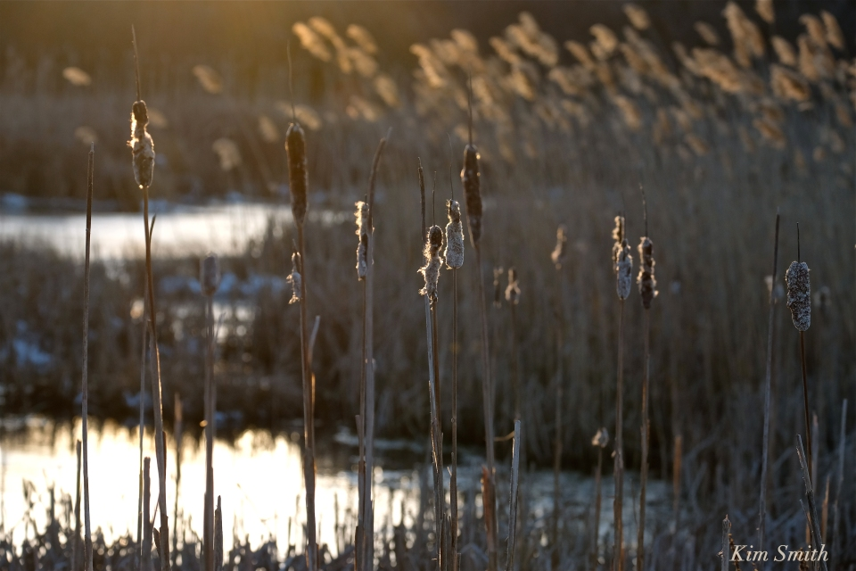 cattails Kim Smith