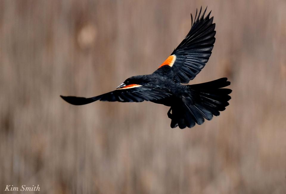 Red-winged Blackbird in flight male KIm Smith