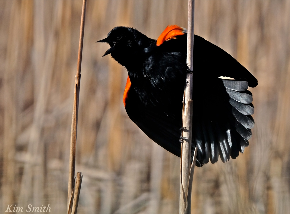 Red-winged Blackbird male Kim Smith