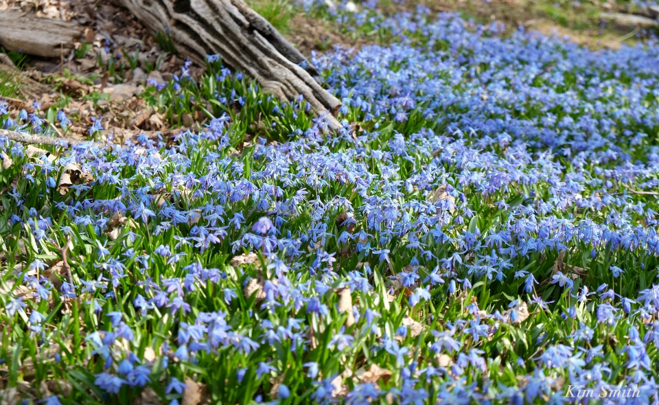 Spring beauty Scilla siberica Kim Smith