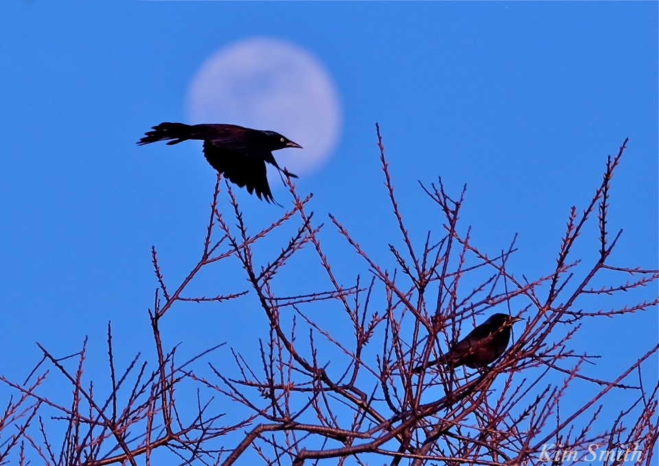 Blackbird moonlight Grackle c Kim Smith