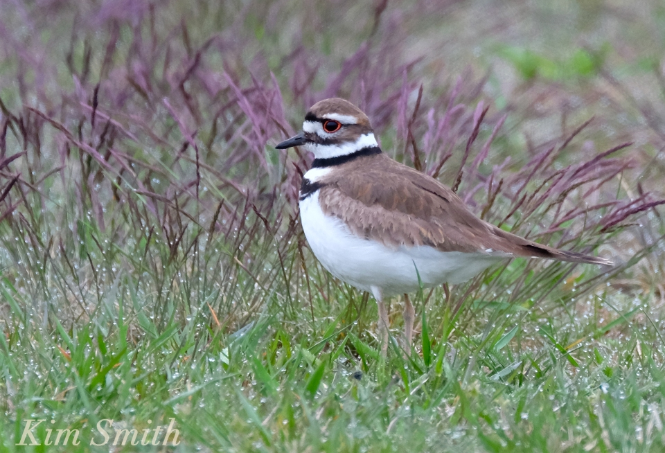 Kildeer Gloucester Massachusetts Kim Smith