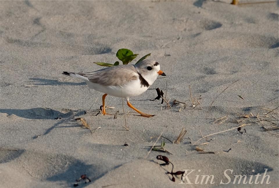 PIPING PLOVERS -5 GOOD HARBOR BEACH GLOUCESTER COPYRIGHT KIM SMITH