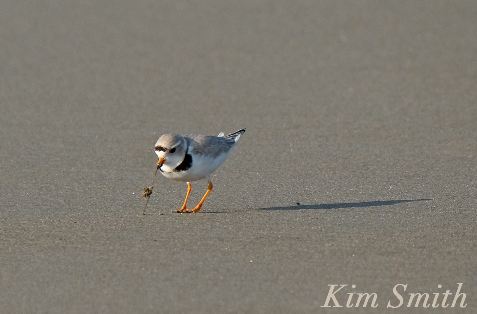 PIPING PLOVERS -Eating 4 GOOD HARBOR BEACH GLOUCESTER COPYRIGHT KIM SMITH