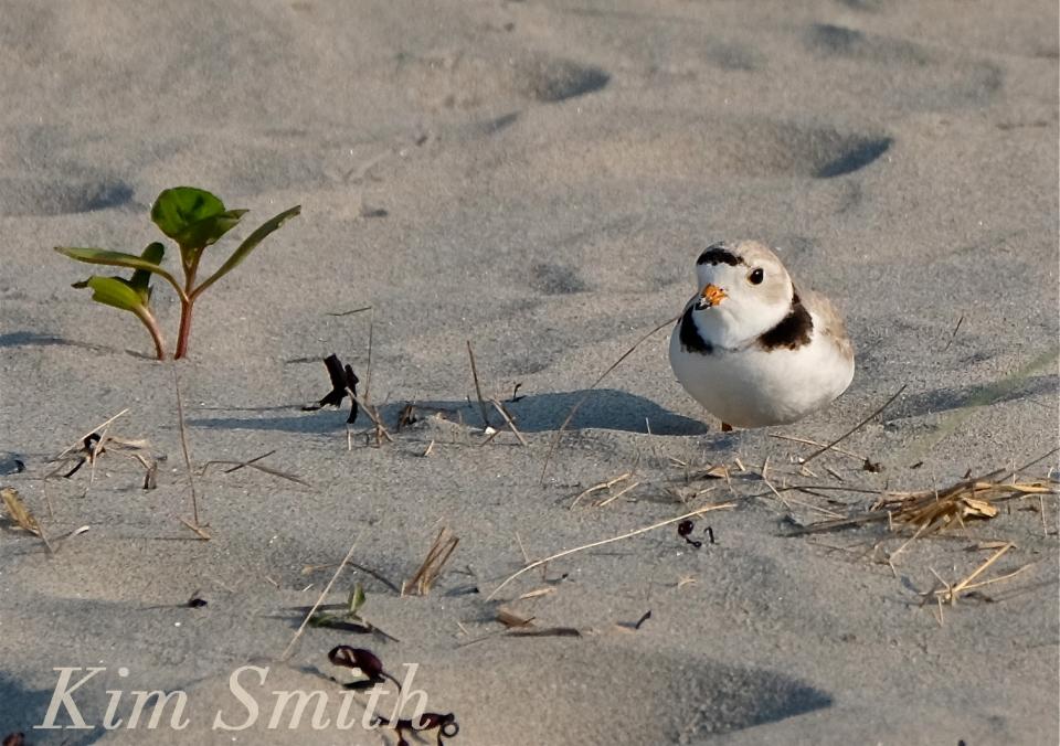 PIPING PLOVERS NESTING 2 GOOD HARBOR BEACH GLOUCESTER COPYRIGHT KIM SMITH