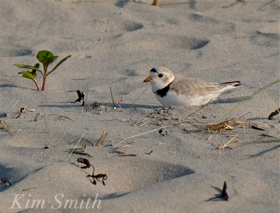 PIPING PLOVERS NESTING -5 GOOD HARBOR BEACH GLOUCESTER COPYRIGHT KIM SMITH