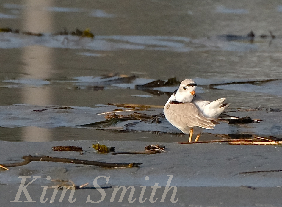 PIPING PLOVERS PREENING GOOD HARBOR BEACH GLOUCESTER COPYRIGHT KIM SMITH