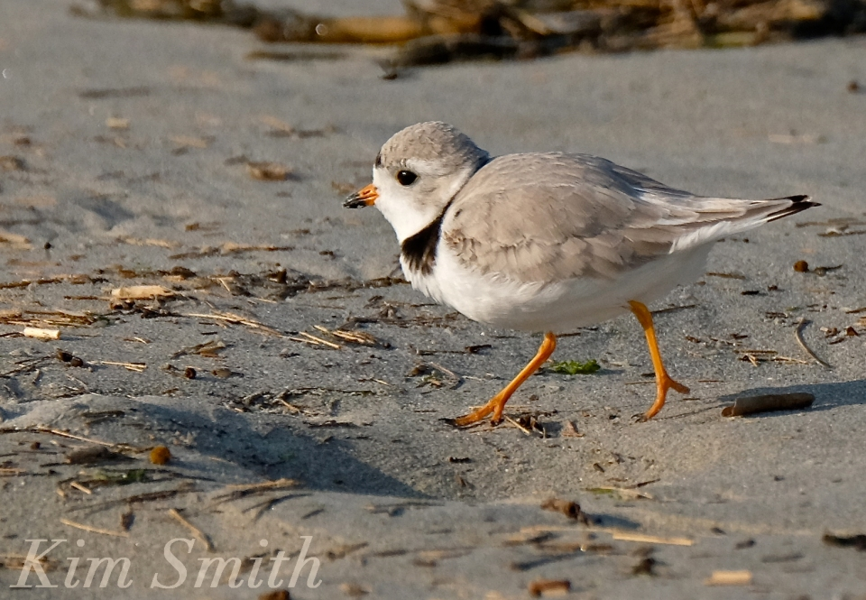 PIPING PLOVERS RUNNING 2 GOOD HARBOR BEACH GLOUCESTER COPYRIGHT KIM SMITH