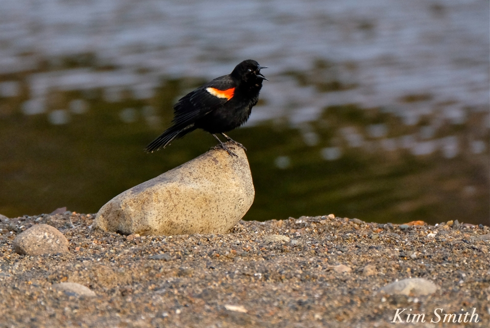 Red-winged Blackbird Gloucester Massachusetts Kim Smith