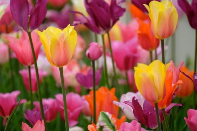 Tulips Mary Prentiss inn Cambridge MA copyright Kim Smith