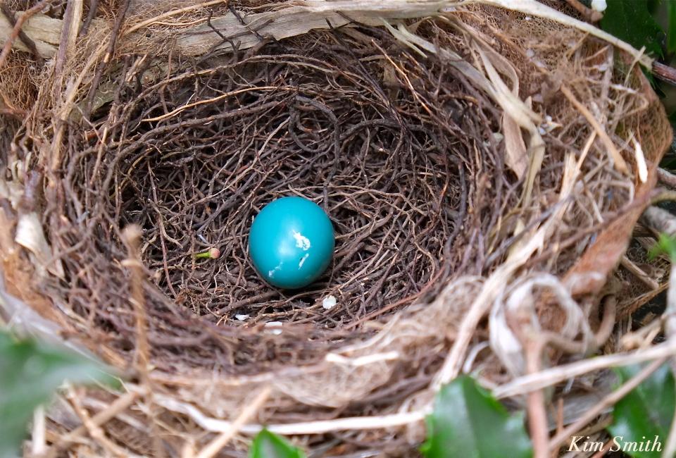 Gray Catbird egg nest  copyright Kim Smith
