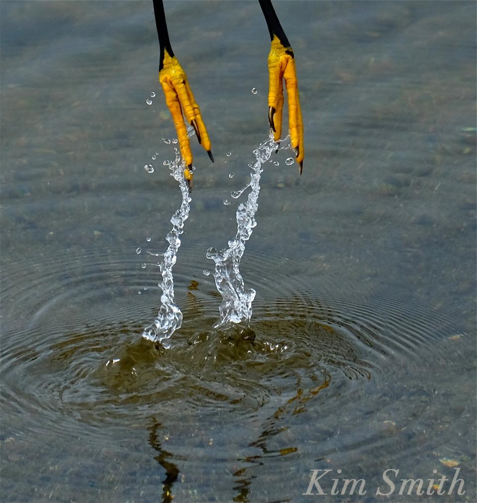 Heron feet copyright Kim Smith