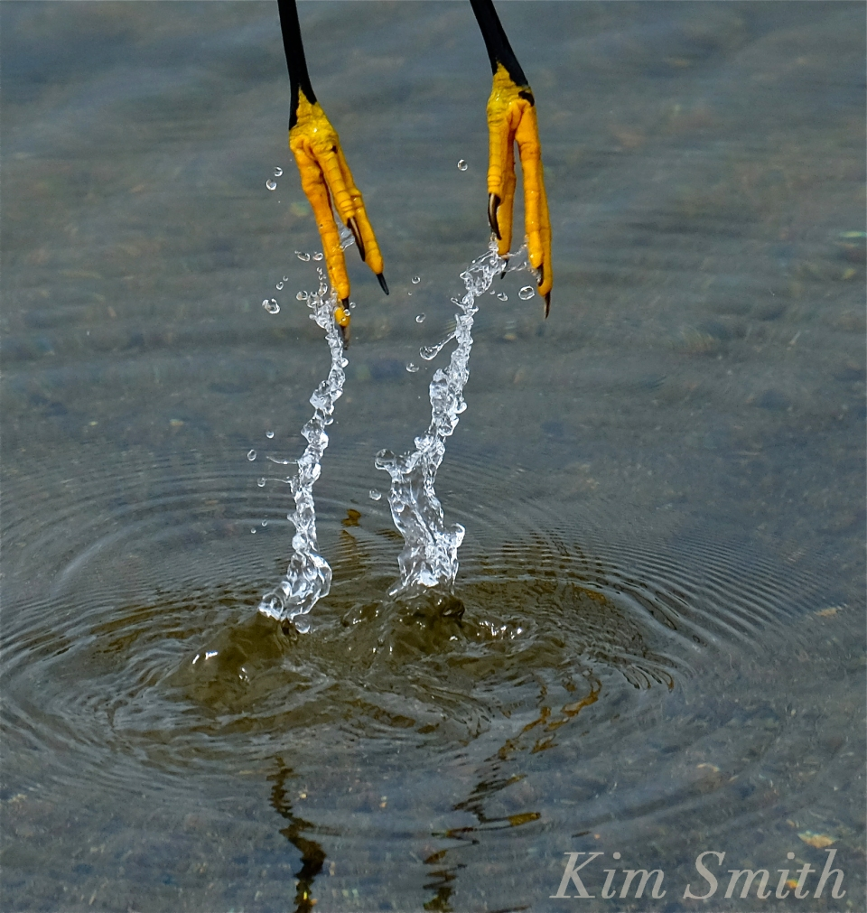 Heron feet copyright Kim Smith