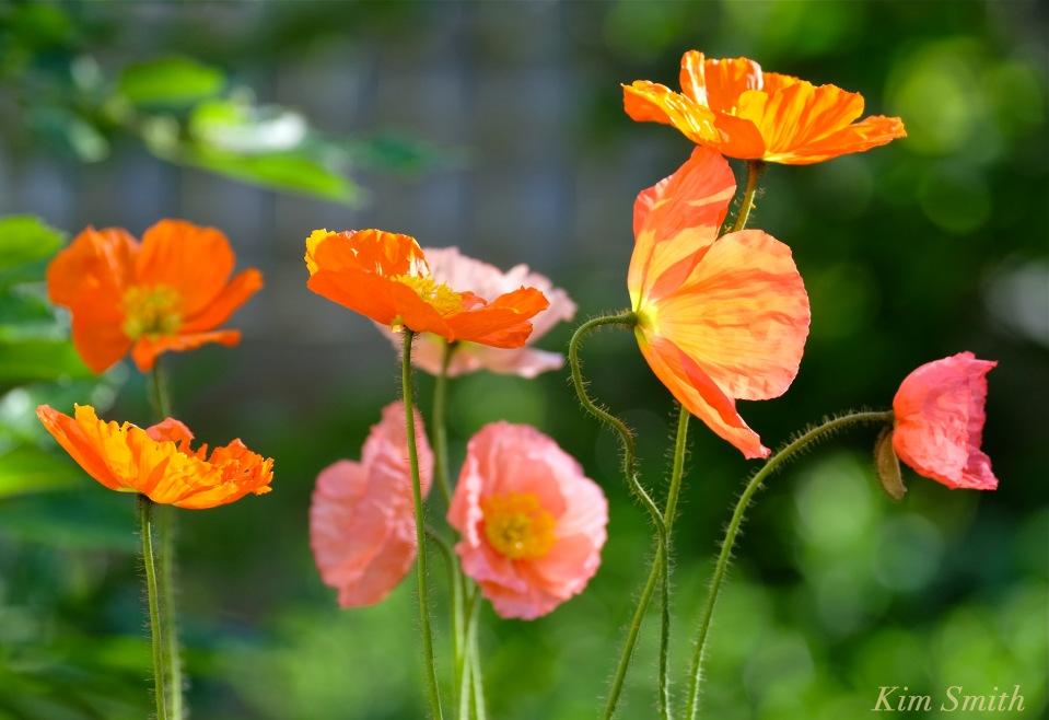 Iceland Poppies -1 copyright Kim Smith