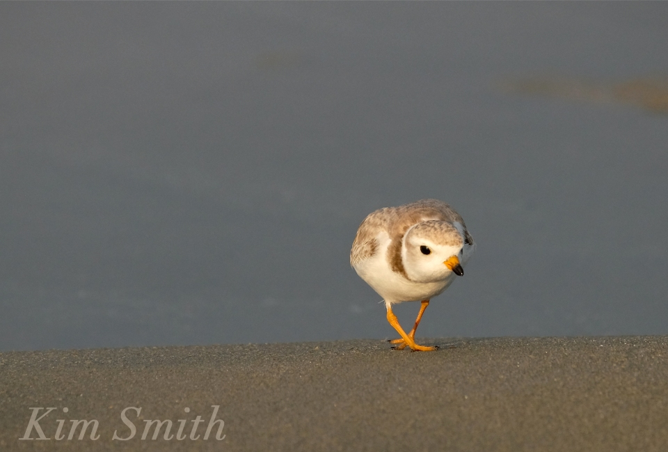 Piping Plover good Harbor Beach Gloucester MA -1 copyright Kim Smith