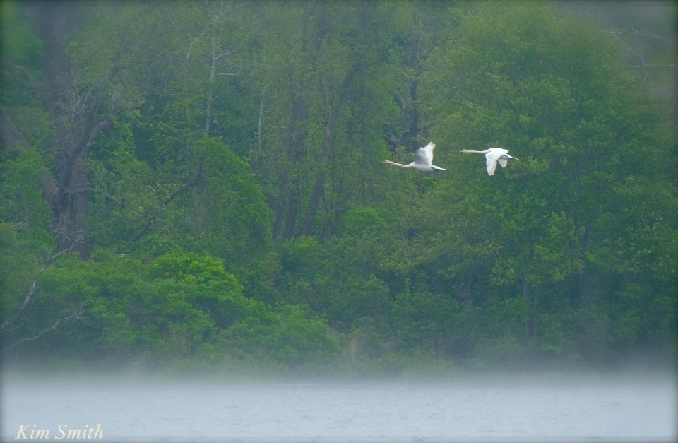 Swan pair  flight Cygnus olor copyright Kim Smith