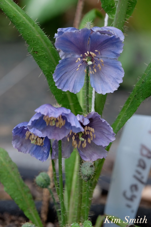Blue poppies Meconopsis coyright Kim Smith
