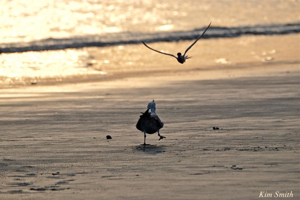 Common Tern attacking gull copyright Kim Smith