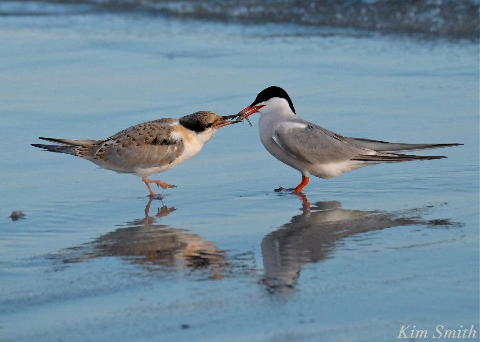 Common Tern Fledgling feeding -1 copyright Kim Smith