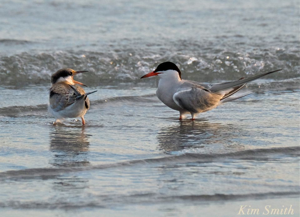 Common Tern Fledgling feeding -6 copyright Kim Smith