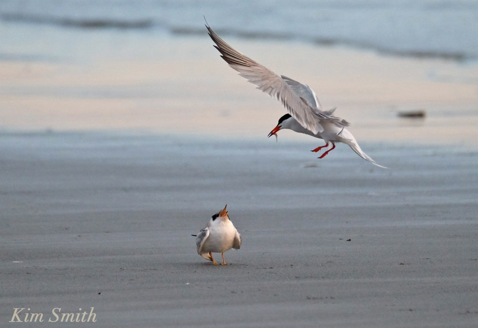 Common Tern Fledgling feeding copyright Kim Smith
