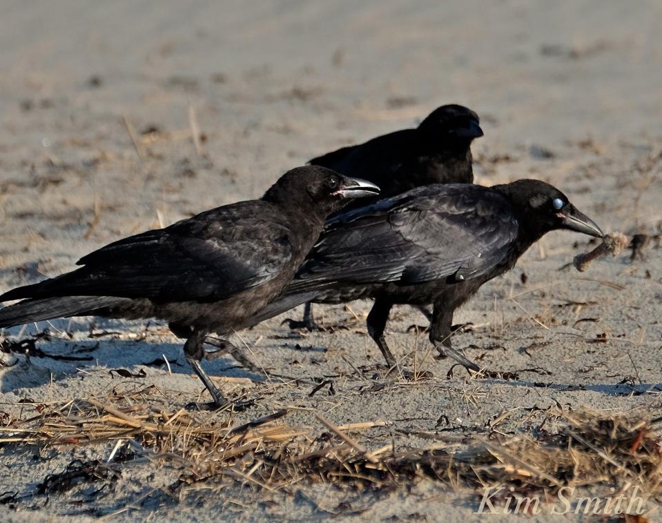 Crow battle -2copyright Kim Smith