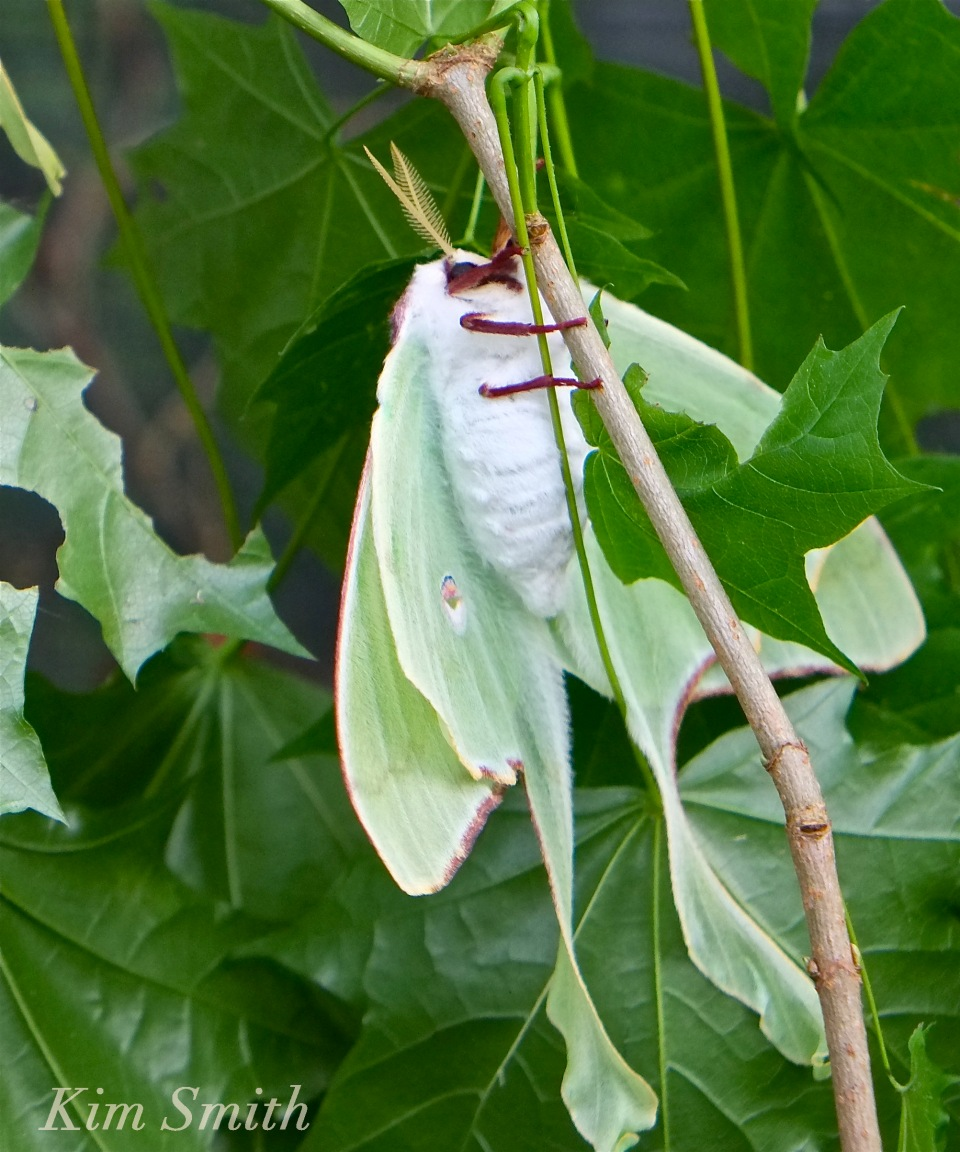 Female Luna Moth Copyright Kim Smith