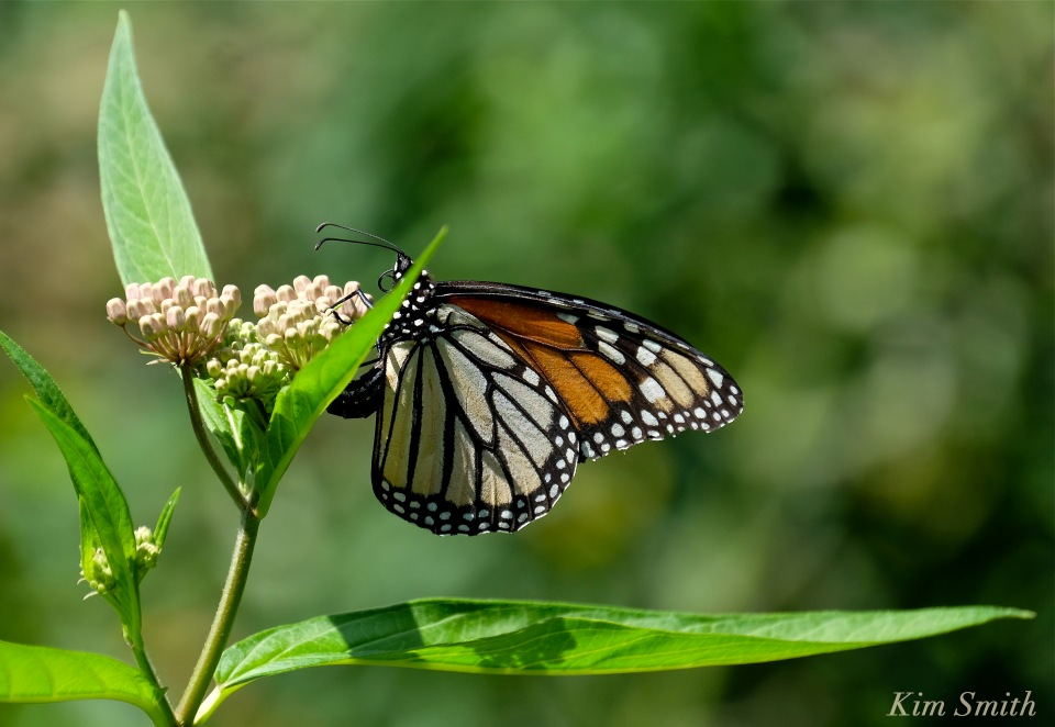 Female Monarch depositing eggs copyright Kim Smith