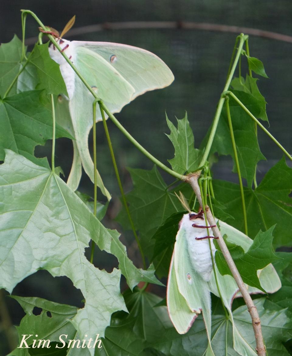 Male Female Luna Moth  underside ventral Copyright Kim Smith copy