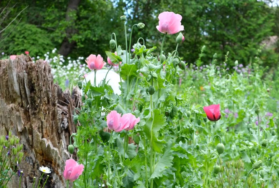 Pink Poppies copyright Kim Smith