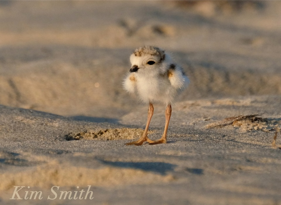 Piping Plover chick copyright Kim Smith