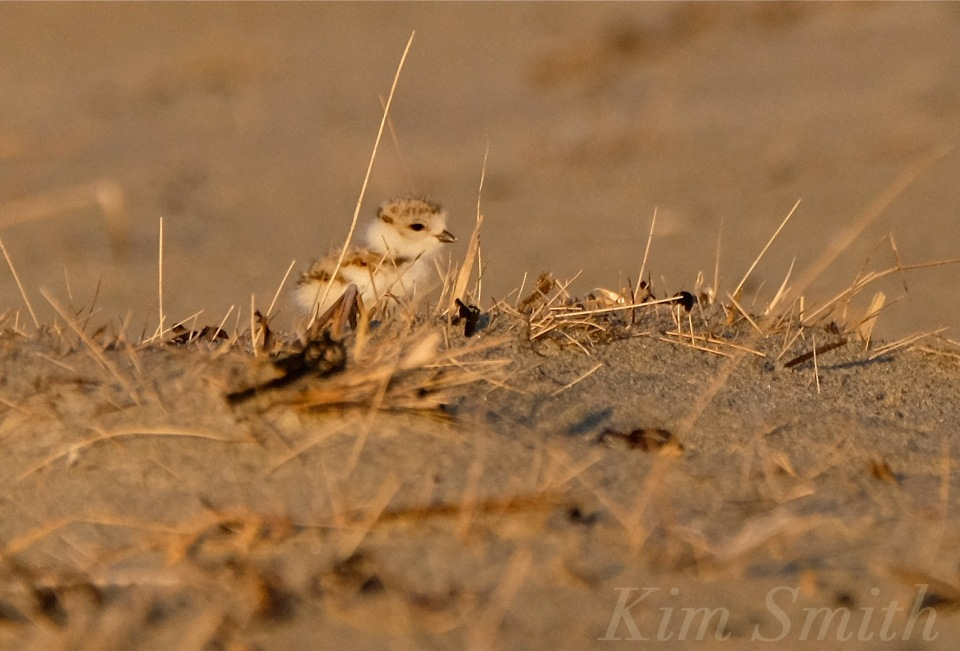 Piping Plover chicks nestlings copyright Kim Smith 6-12-16