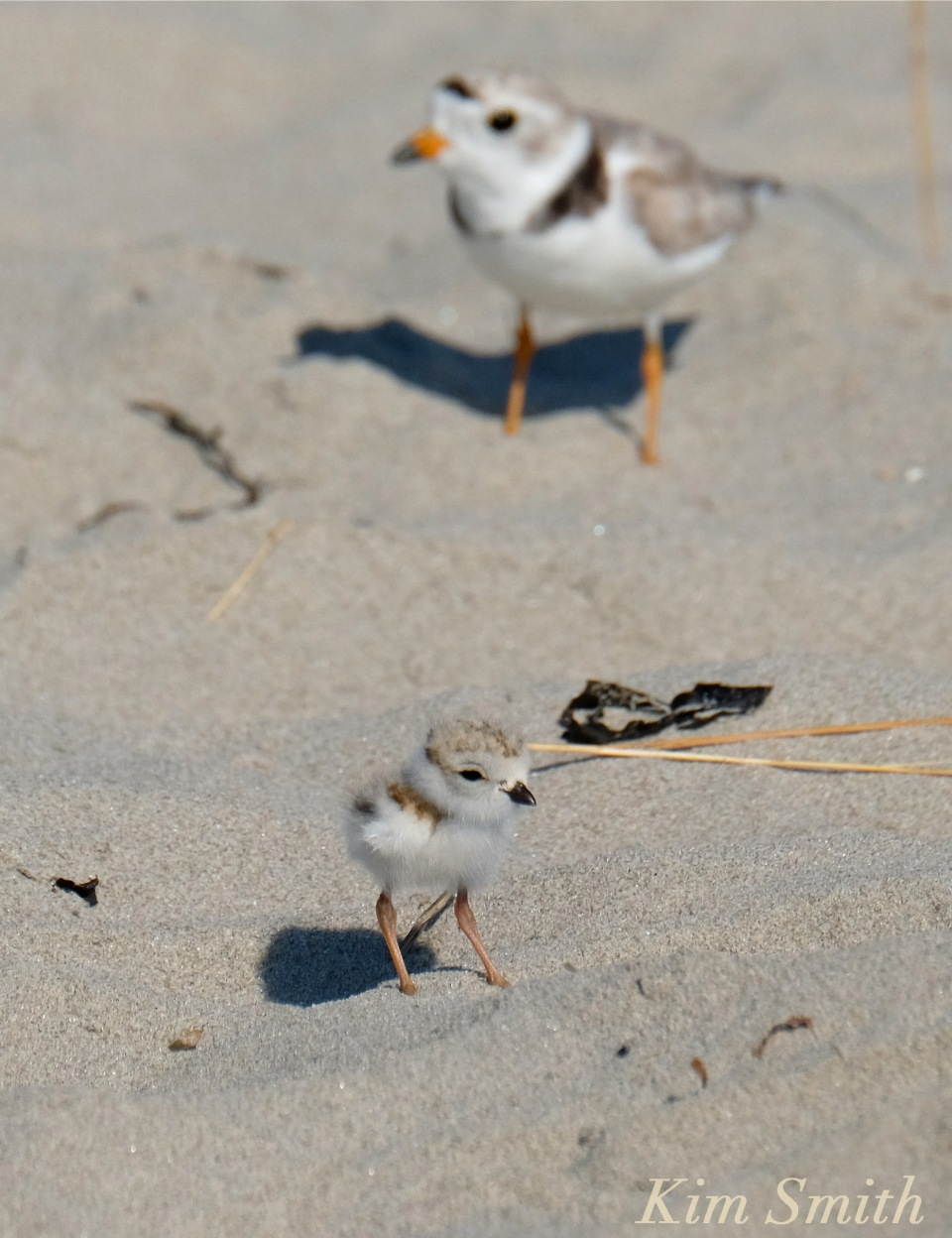 Piping Plover male and chick -2 copyright Kim Smith
