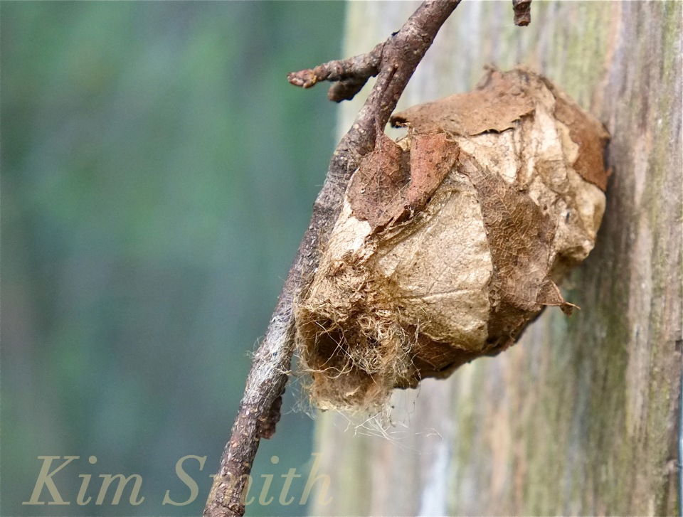 Polyphemus Moth cocoon copyright Kim Smith