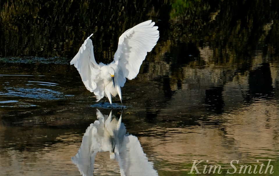 Snowy Egret Good Harbor Beach -2 copyright Kim Smith